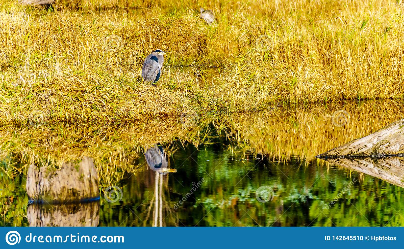 A Great Blue Heron reflection in the calm water of the Silverdale Creek Wetlands, a freshwater Marsh near Mission, BC, Canada