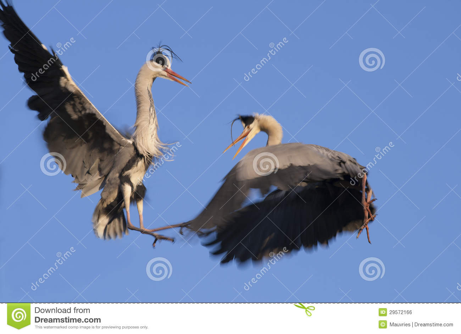 Great Blue Herons Courtship