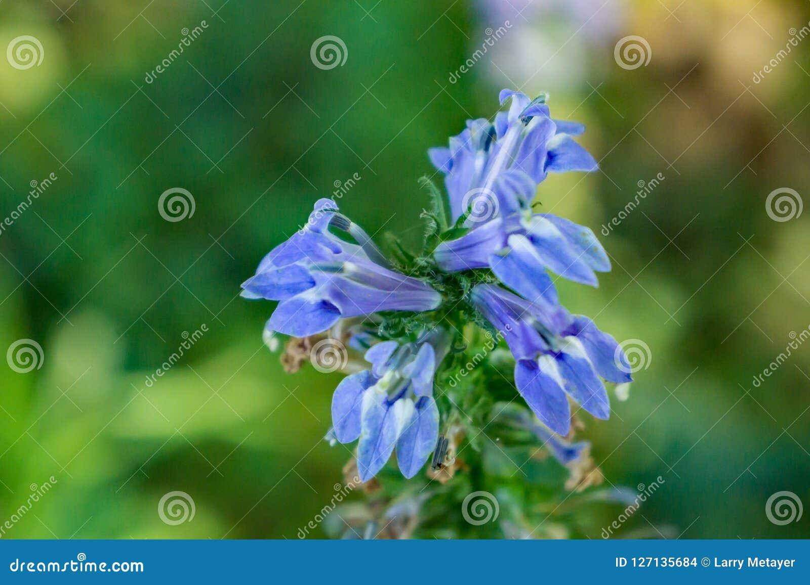 Great Blue Lobelia Lobelia Siphilitica Stock Photo Image Of