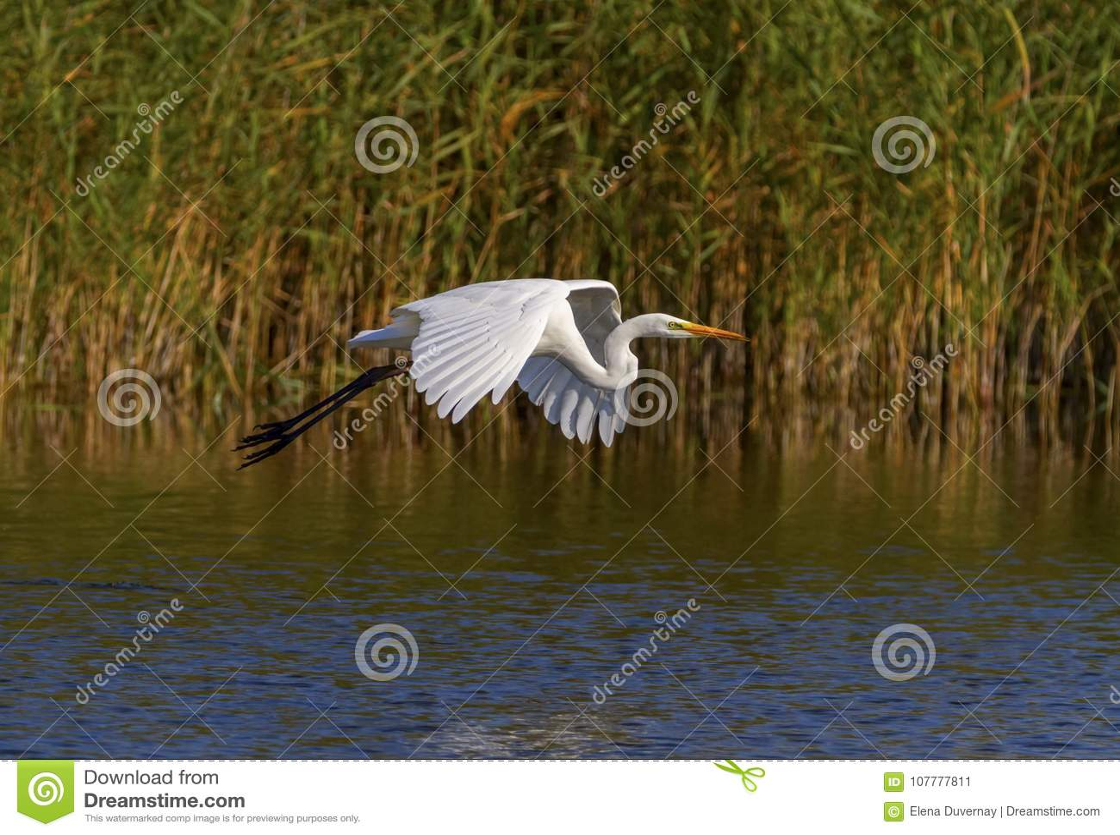 Great egret, ardea alba, flying, Neuchatel lake, Switzerland
