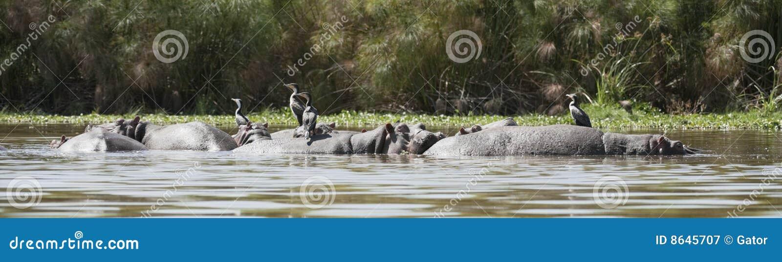 Great Cormorants resting on hippo backs