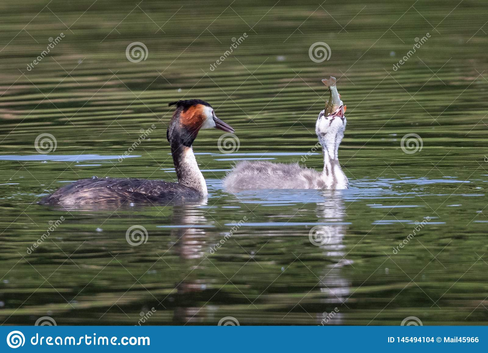 Great Crested Grebe chick eating a fish