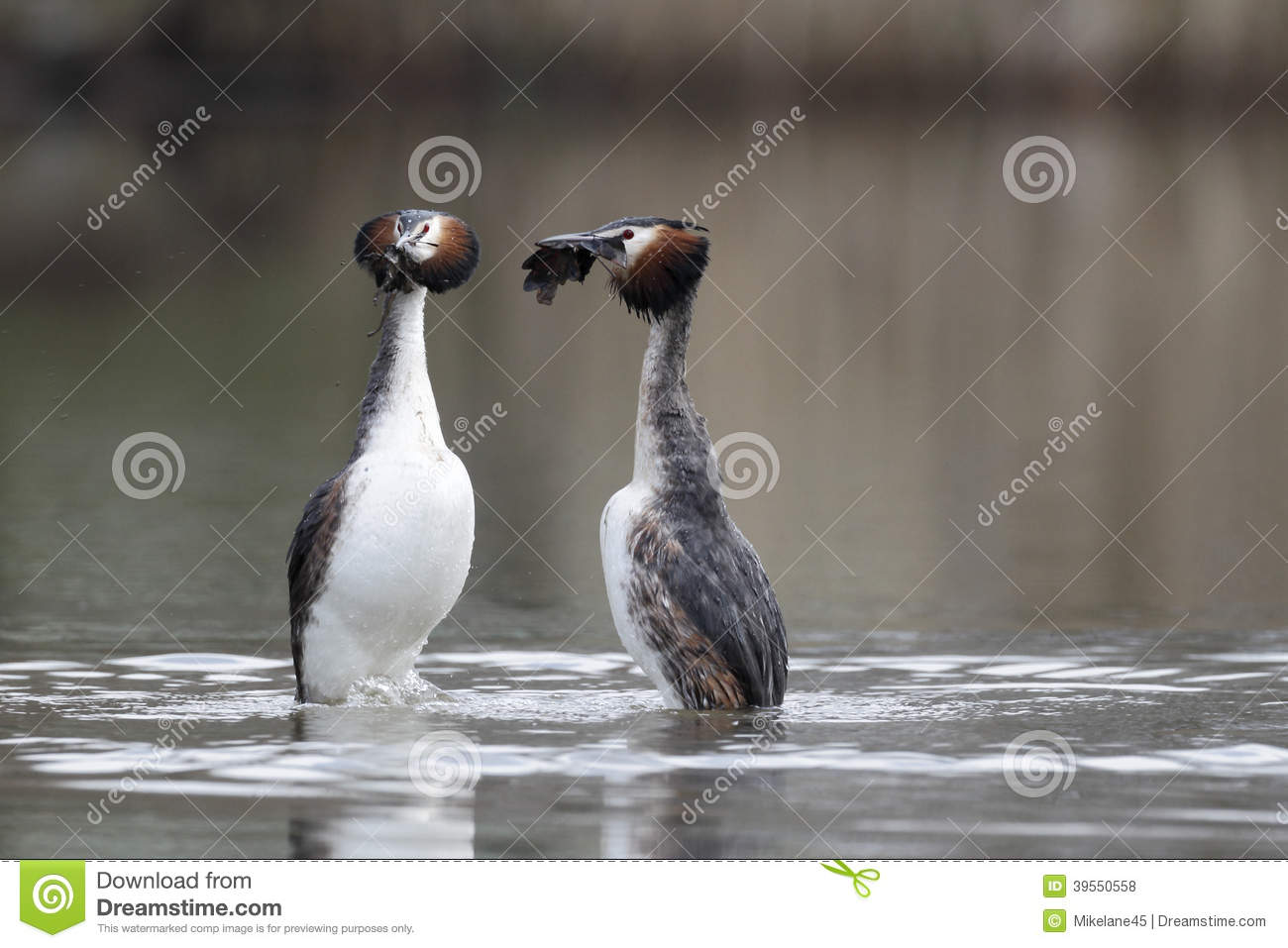 Great-crested grebe, Podiceps cristatus