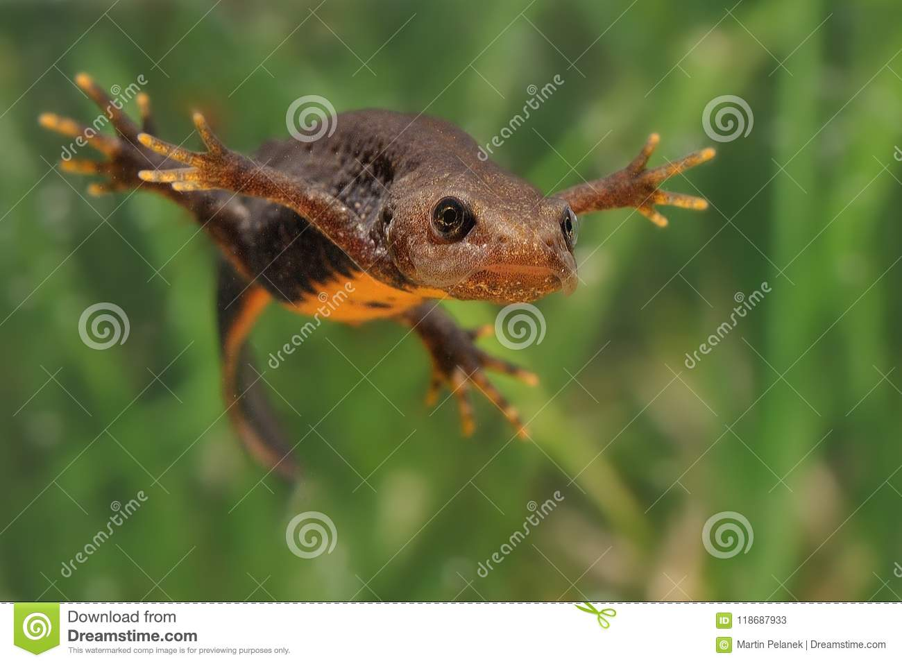 Great Crested Newt Triturus cristatus swimming in the water. Green background with water plants.