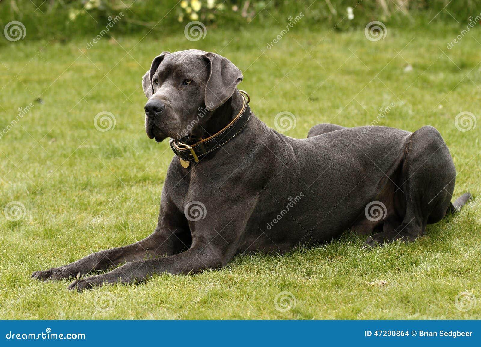 A Great Dane Dog Stock Photo Image Of Biggest Dane 47290864
