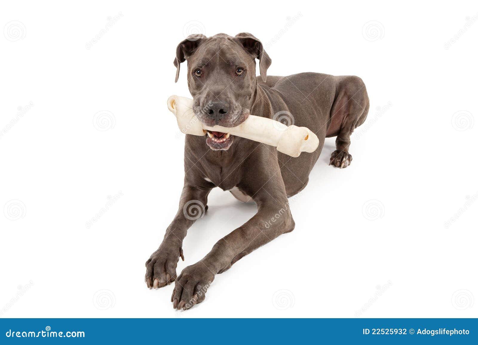 Great Dane Dog With Large Bone Stock Photography Image