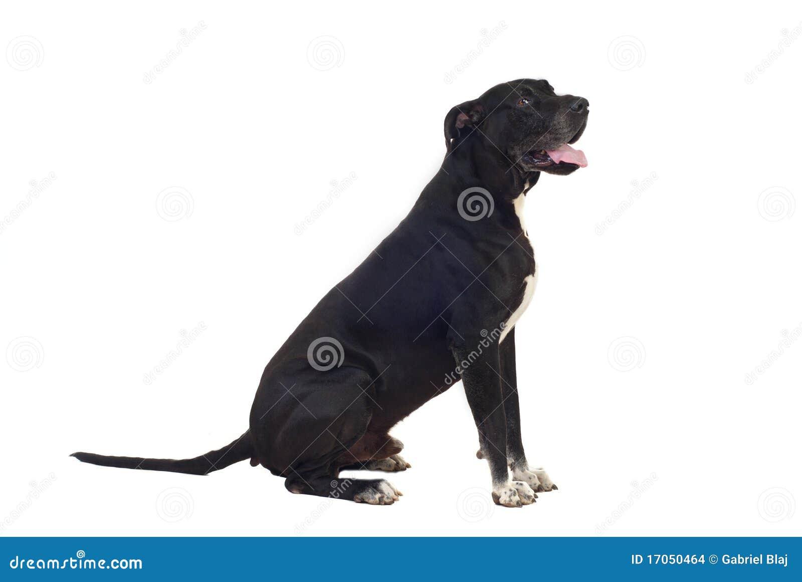 Great Dane Dog Video Download