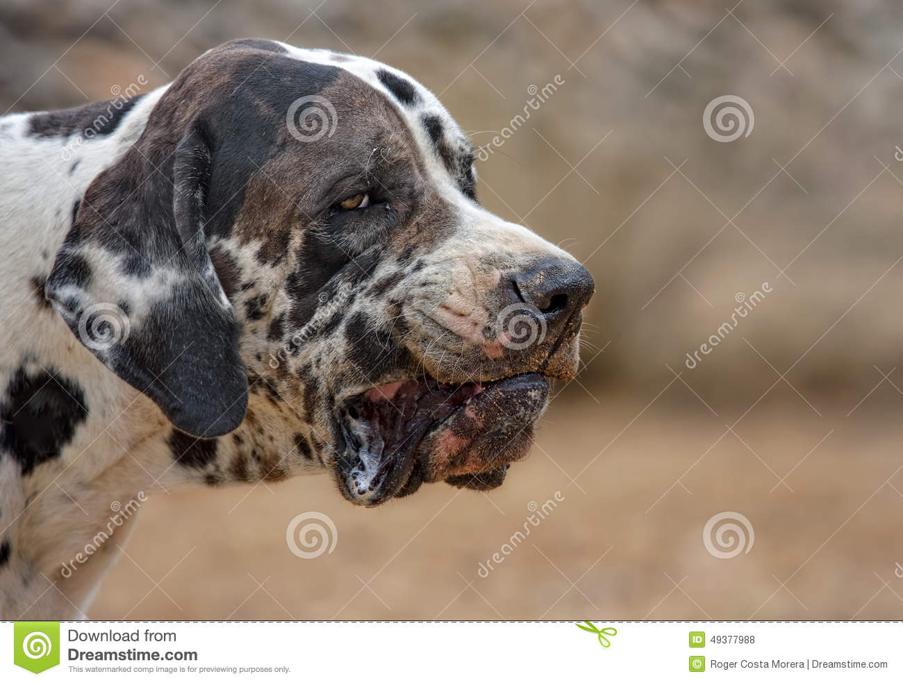 Great Dane Or Dogue Allemand Stock Photo - Image: 49377988