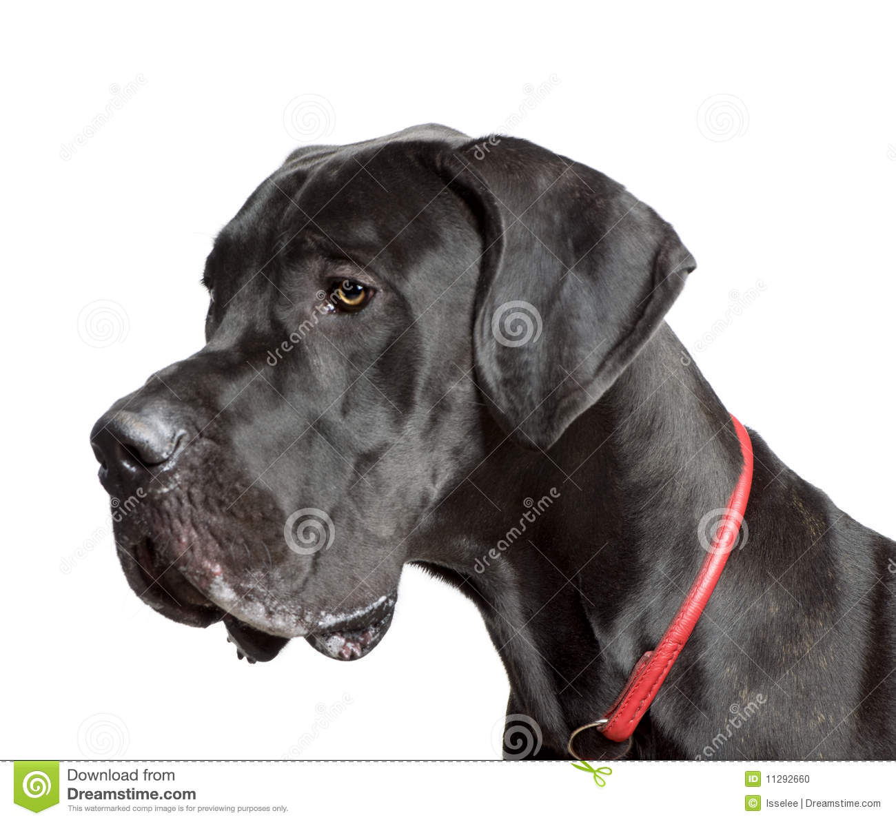 Great dane 11 months old in front of white background studio shot