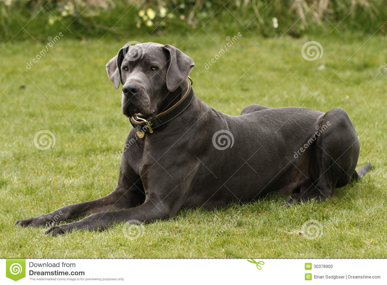 A Great Dane Stock Photo Image Of Bred Hound Giant