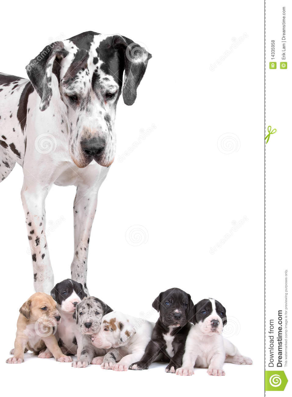 Great Dane Harlequin With Puppies Royalty Free Stock ...