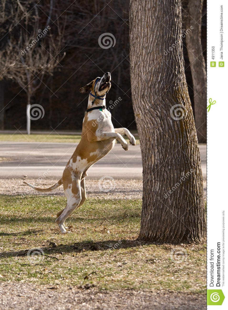 Great Dane Fawnequin Great Dane Jumping For...