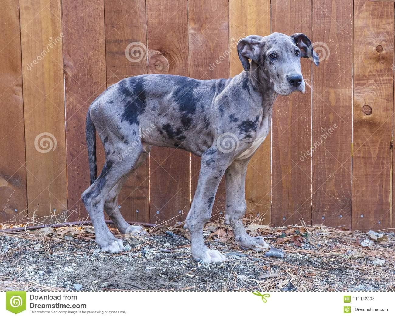 Great Dane Outside By Fence Stock Image Image Of