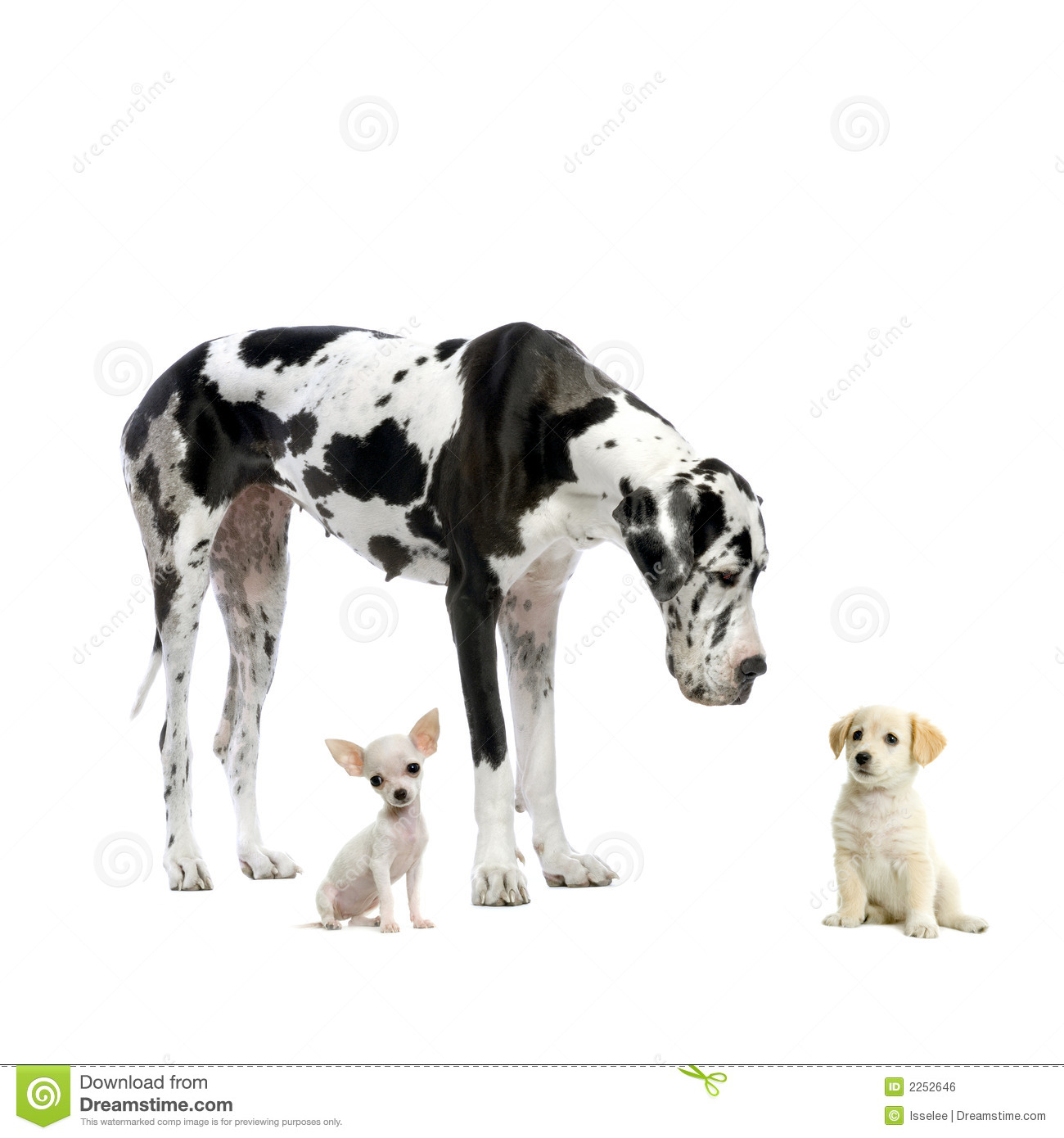 Great Dane And Puppies Royalty Free Stock Image