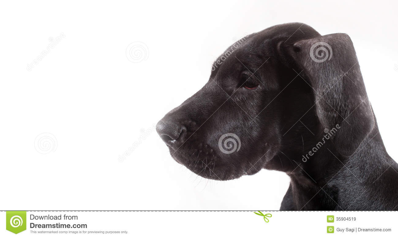 great dane puppy royalty free stock images
