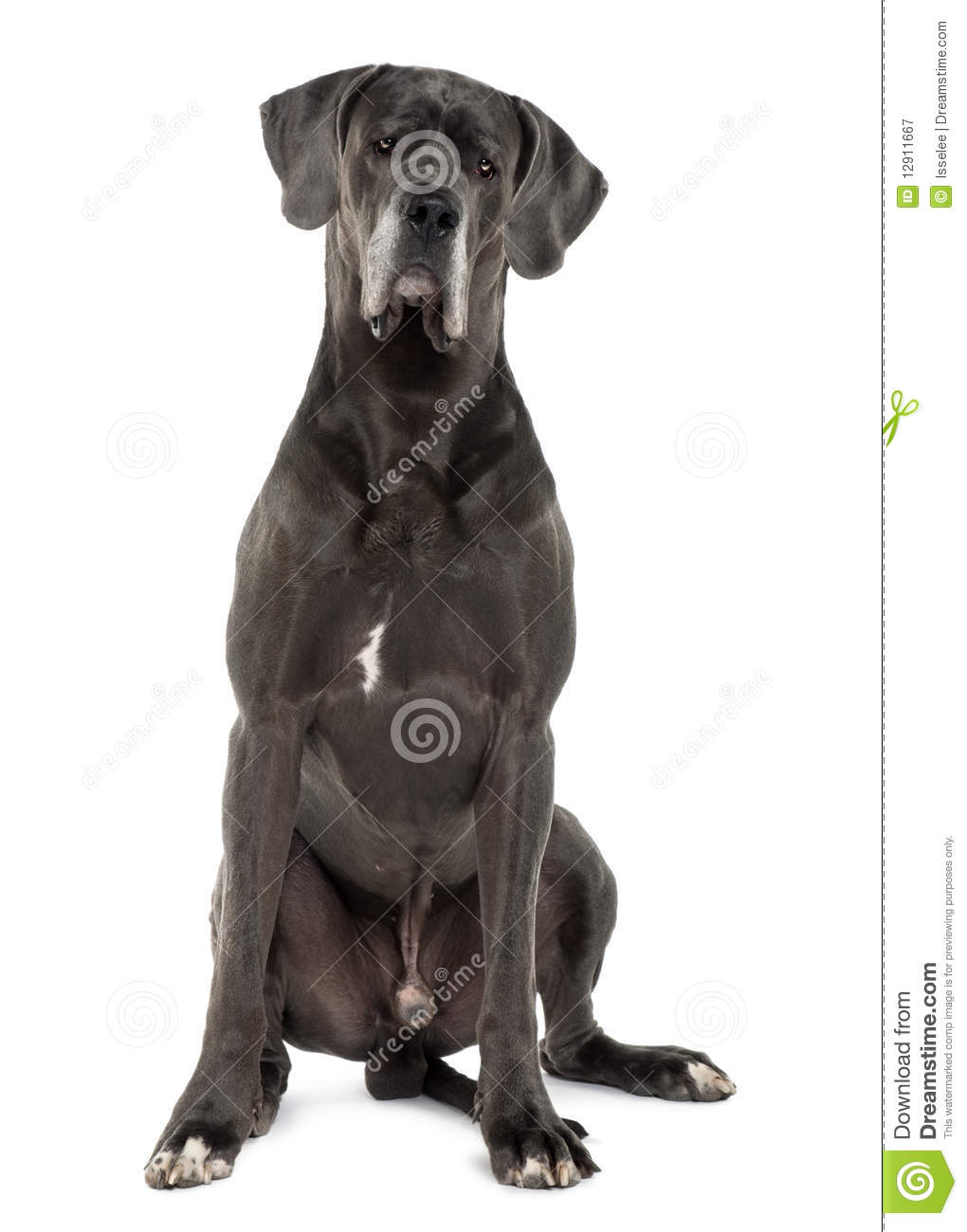 Great Dane Sitting And Looking The Camera Royalty Free