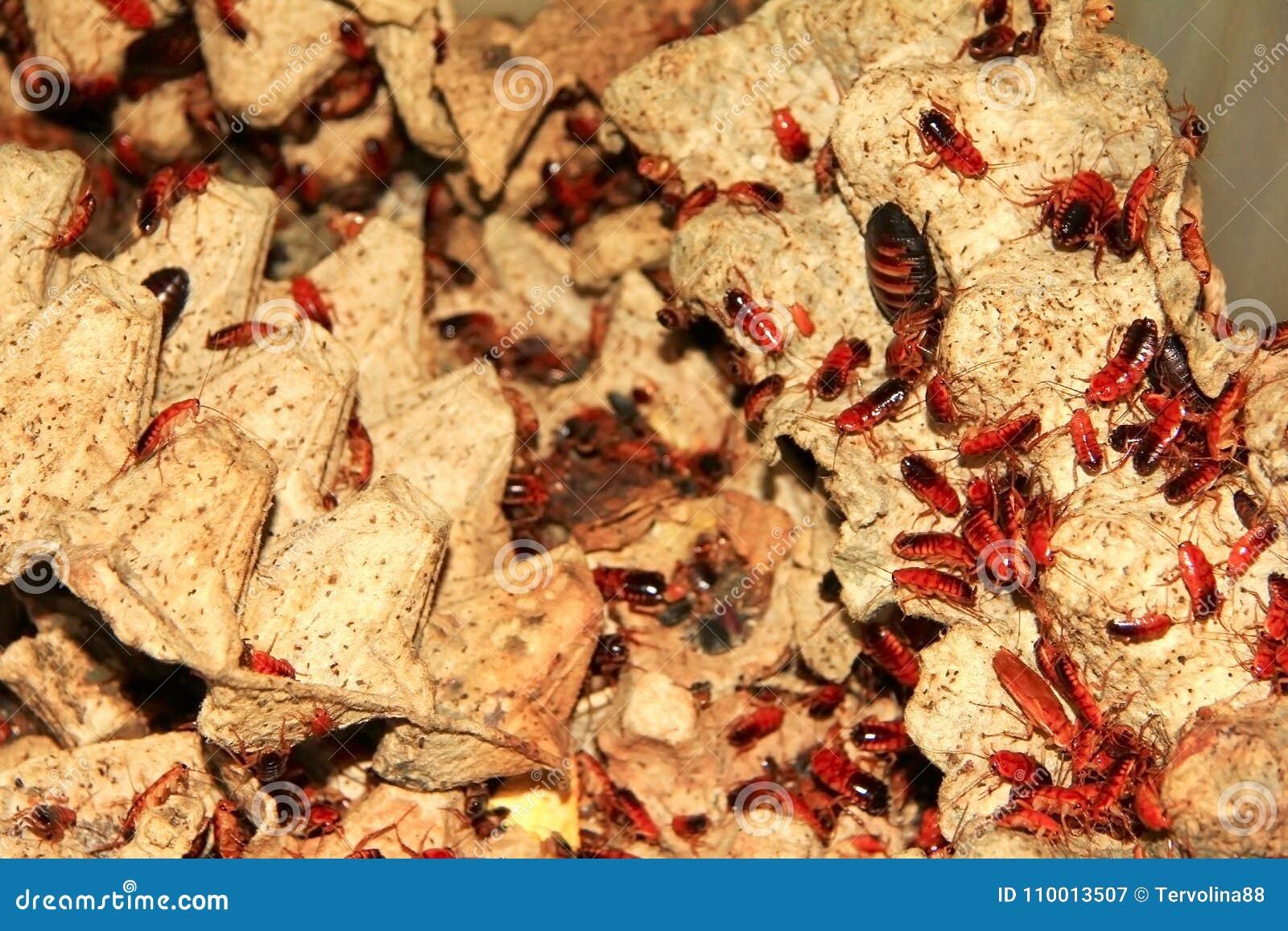 A great deal rode kakkerlakken