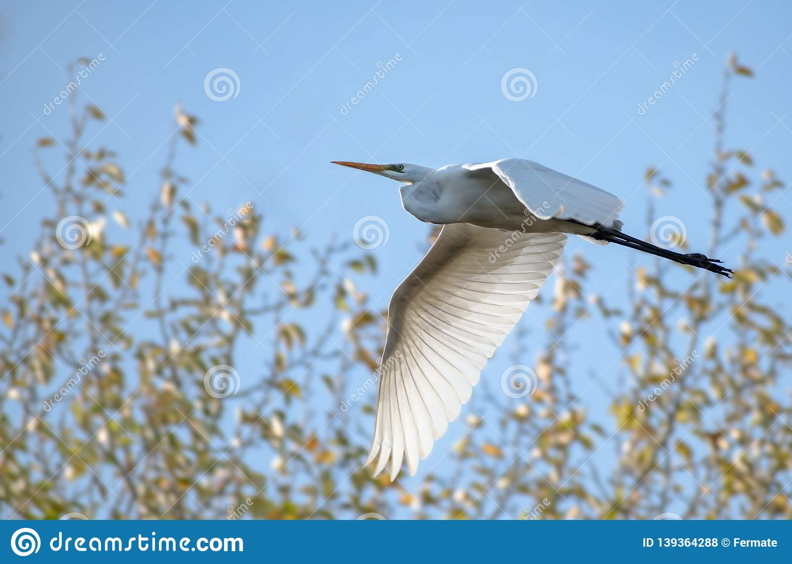 Great egret Ardea alba, large white heron bird in flight in front of bushes against the blue sky, copy space
