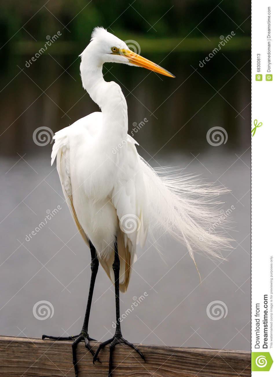 Great egret with breeding plumage