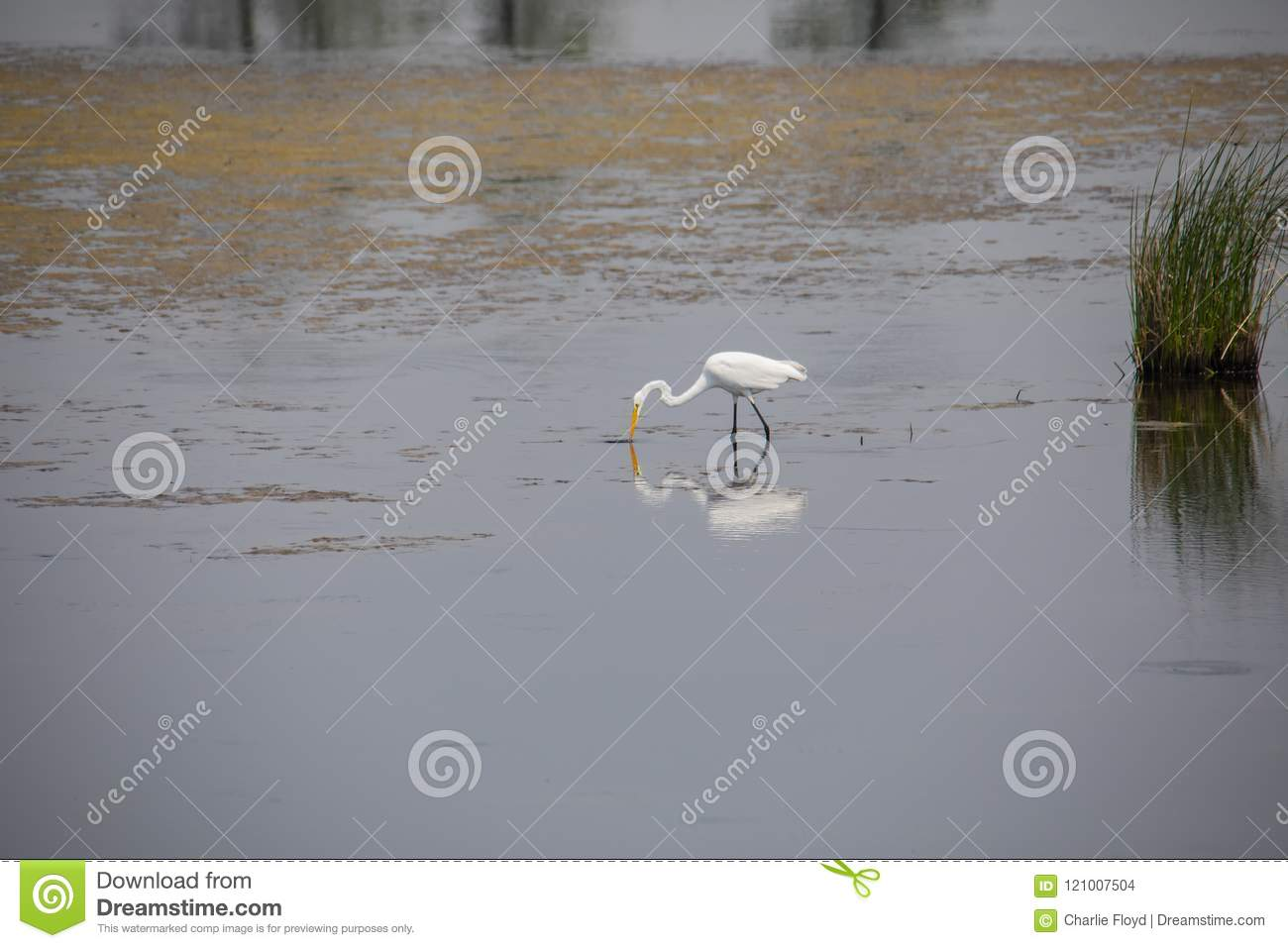 Great Egret Feeding in Shallow Water