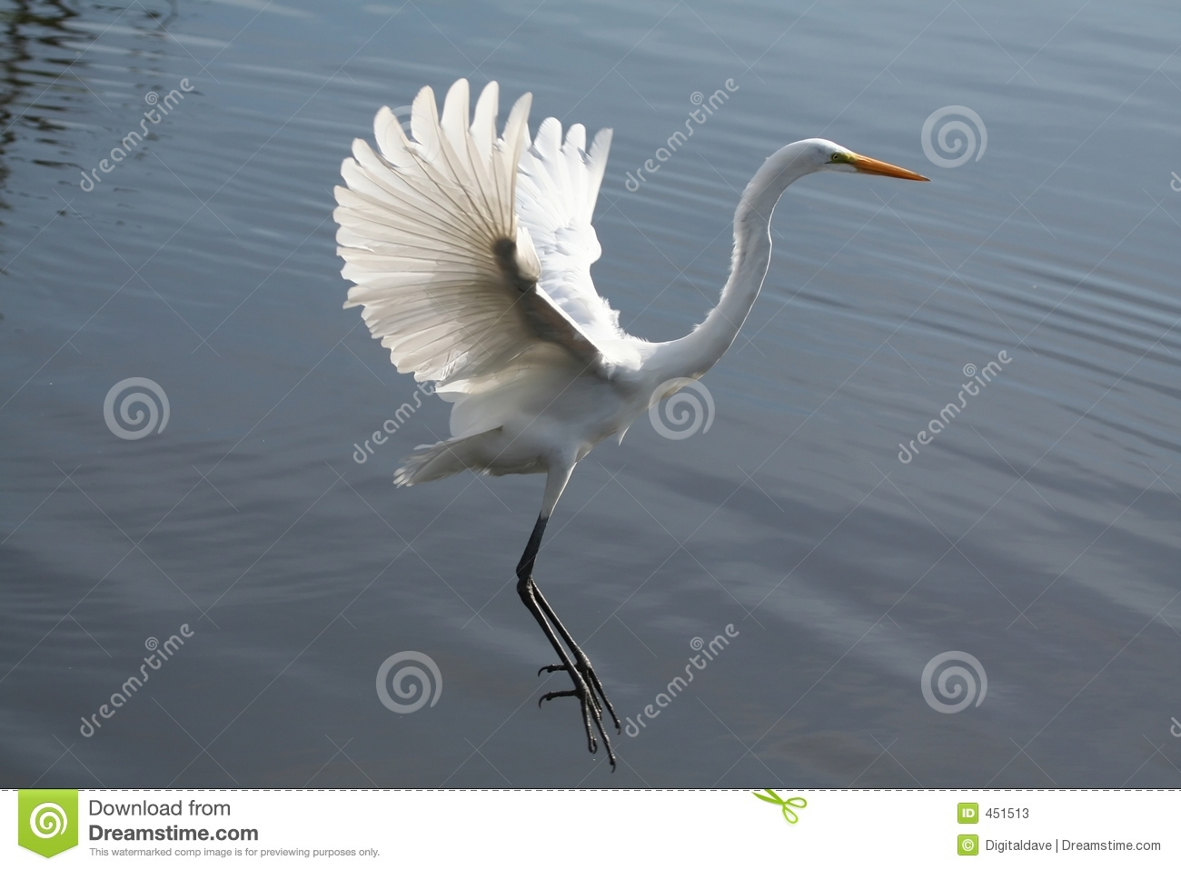 Great Egret Landing Stock Photos Image 451513