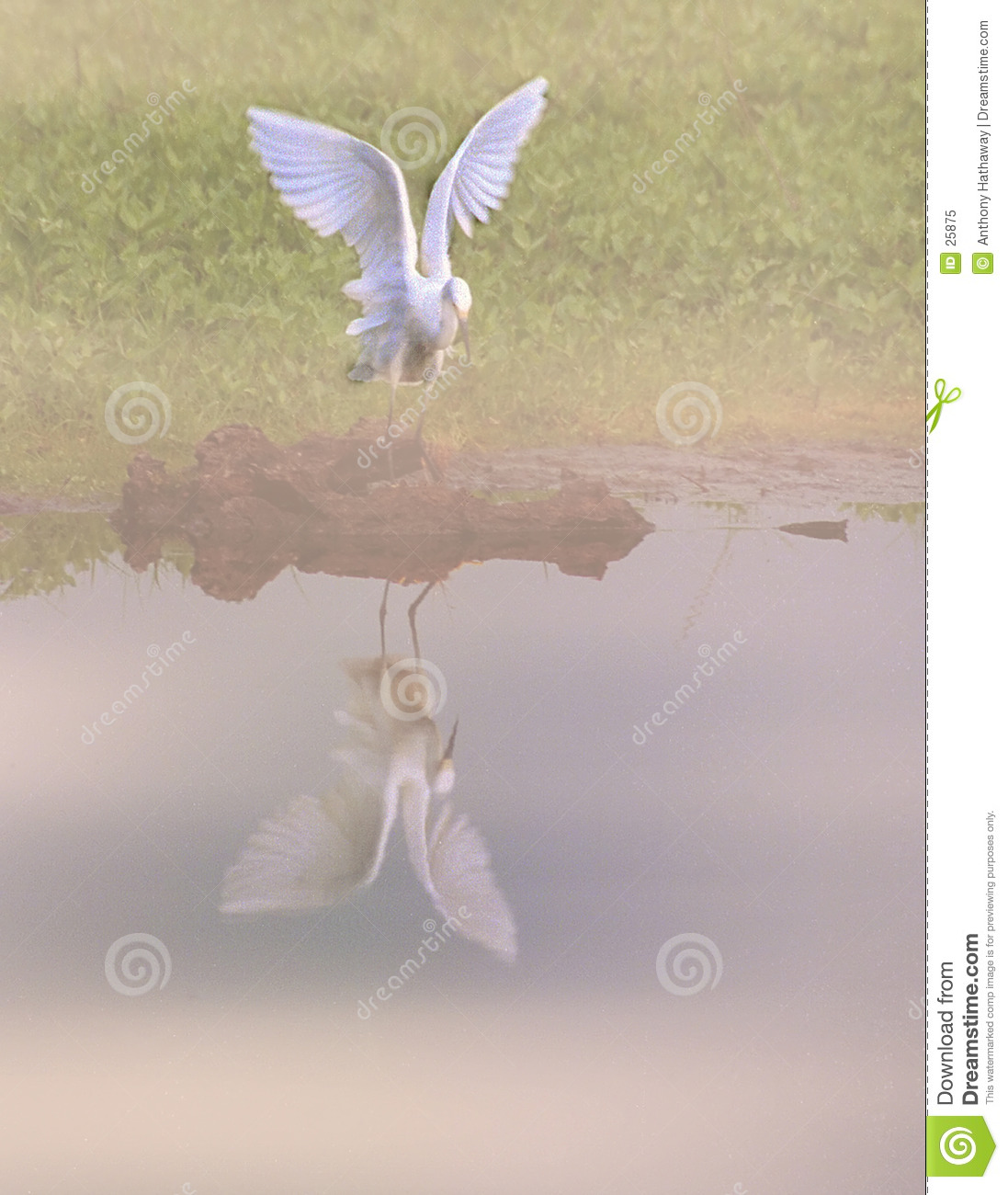 Great egret looks at its reflection