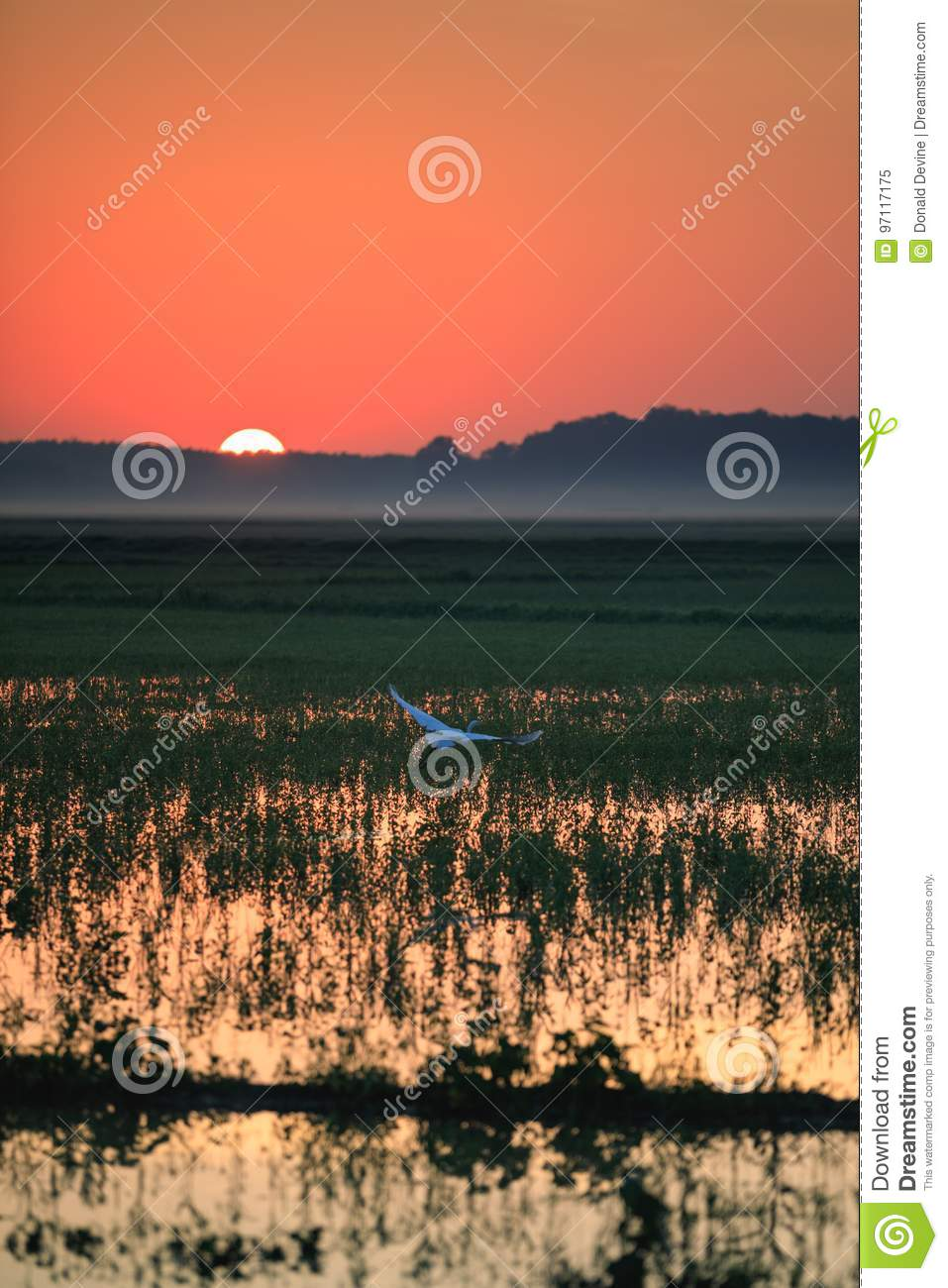 A Great Egret takes flight in a rice field during sunrise over Bald Knob National Wildlife Refuge