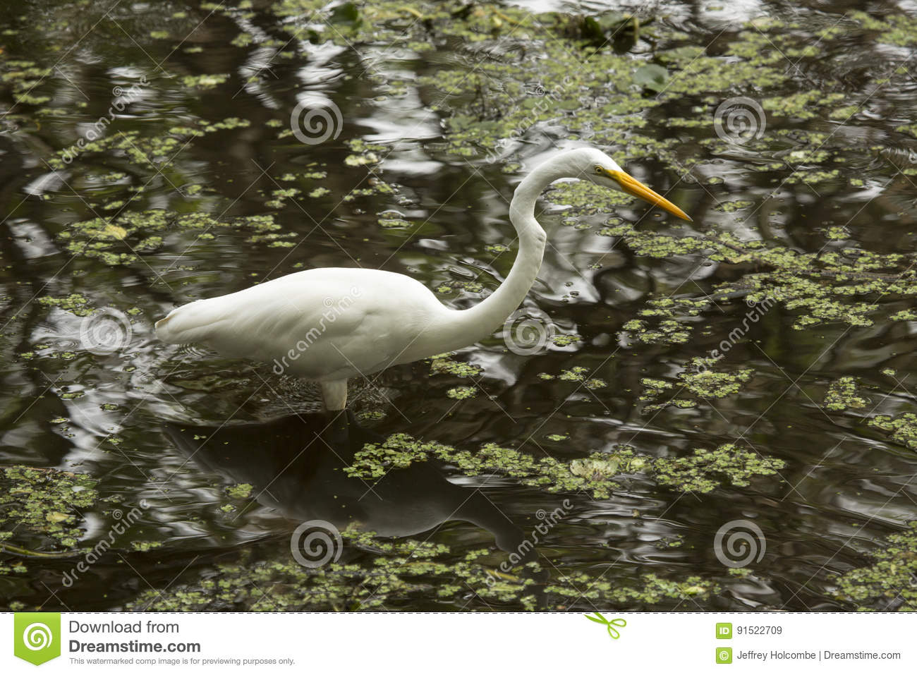 Great egret wading in shallow water of the Florida Everglades.