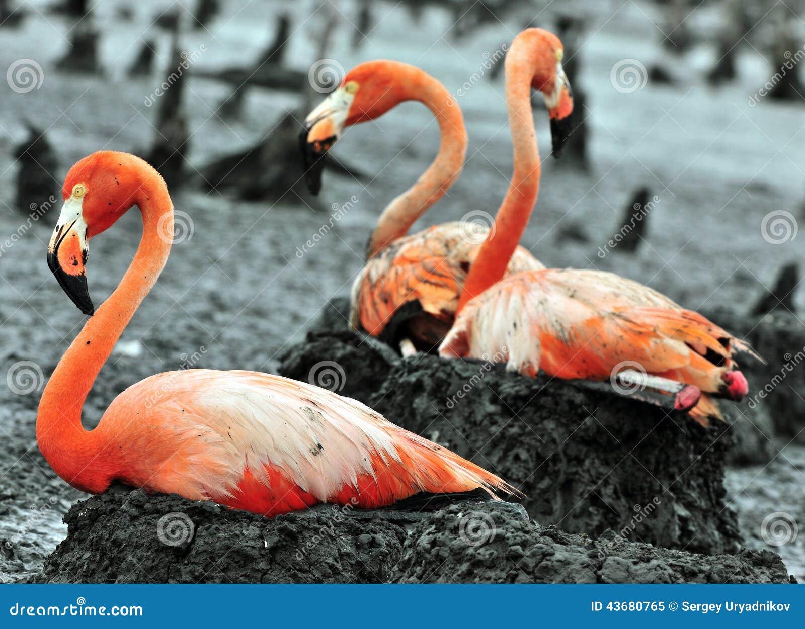 Flamingo Nests Great Flamingo Birds O...