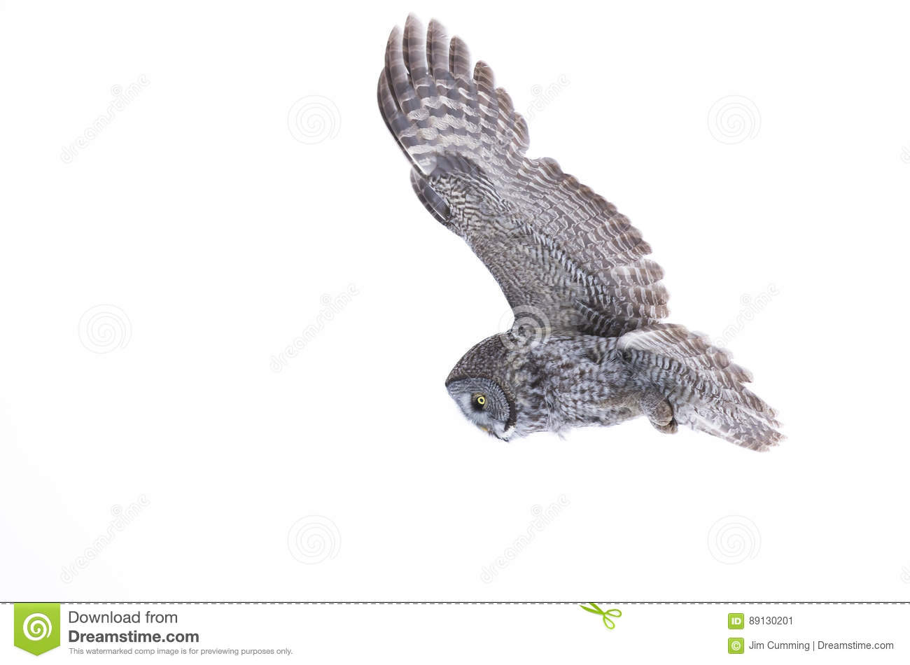 Great grey owl (Strix nebulosa) isolated against a white background hunting over a snow covered field in Canada