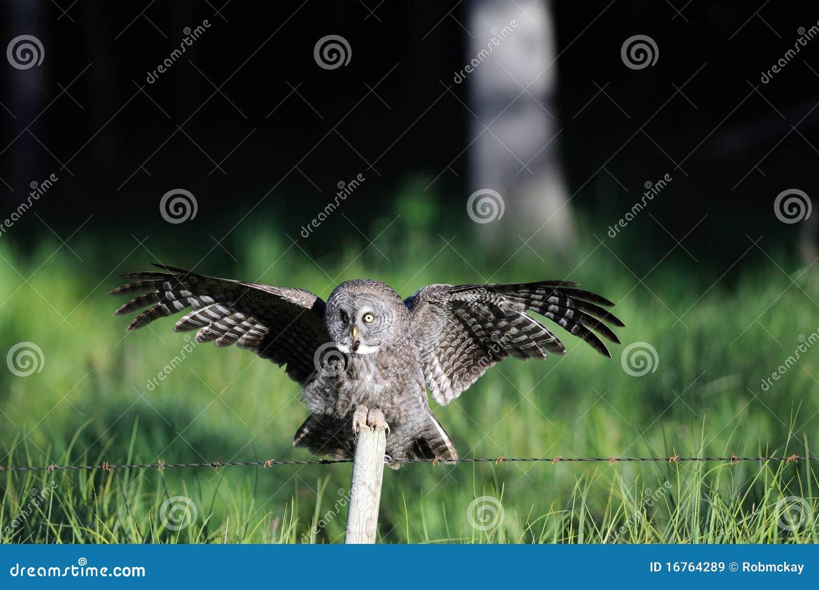 Great Grey Owl Landing on Post