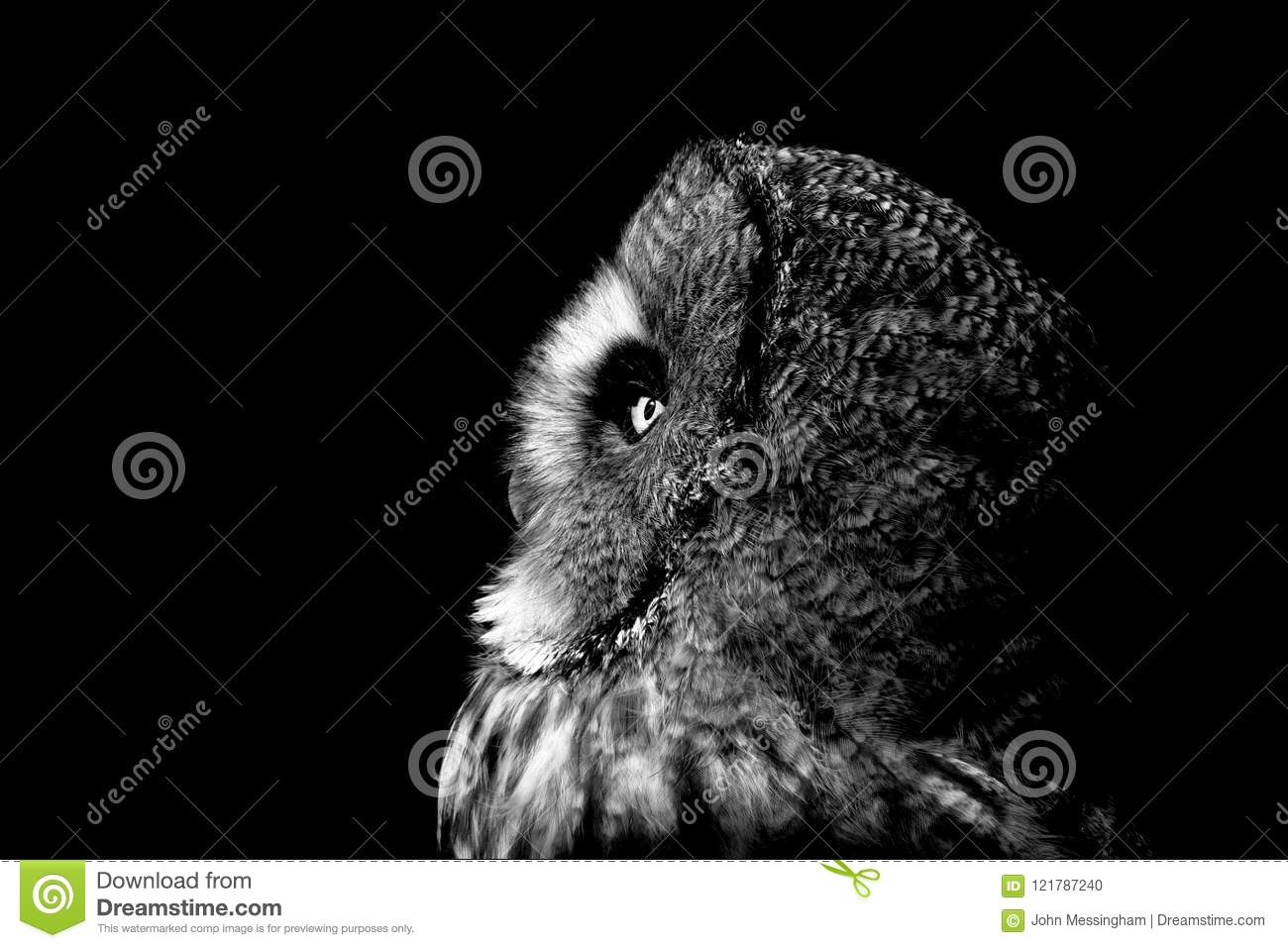 Great Grey Owl Portrait Stock Photo Image Of Bearded 121787240