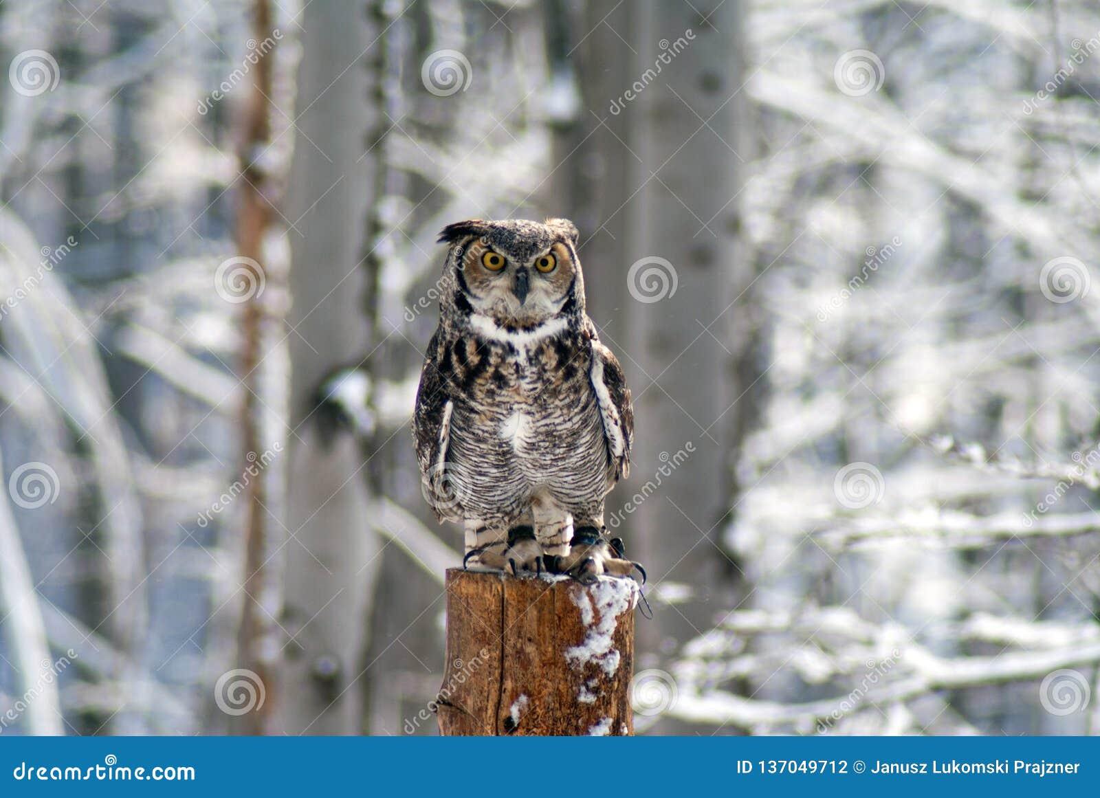 Great homed owl bubo virginianus