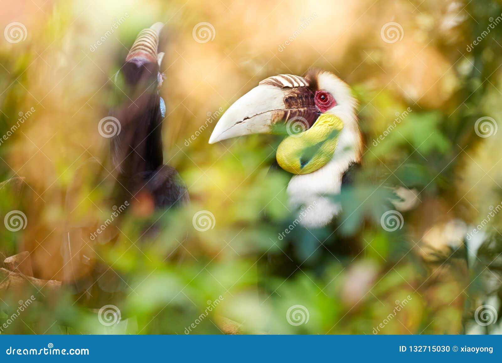 Great hornbill in rain forest