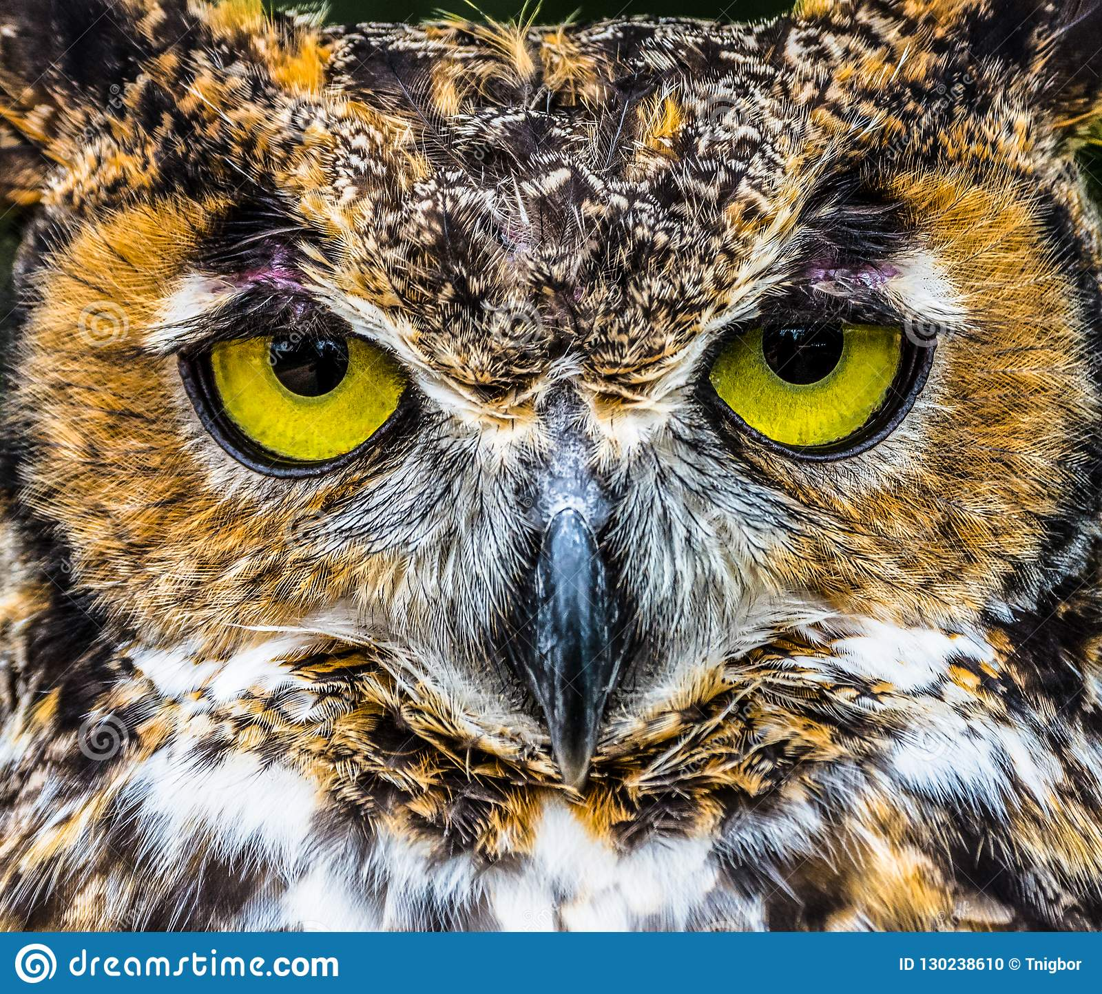 Great Horned Owl close up bright yellow eyes