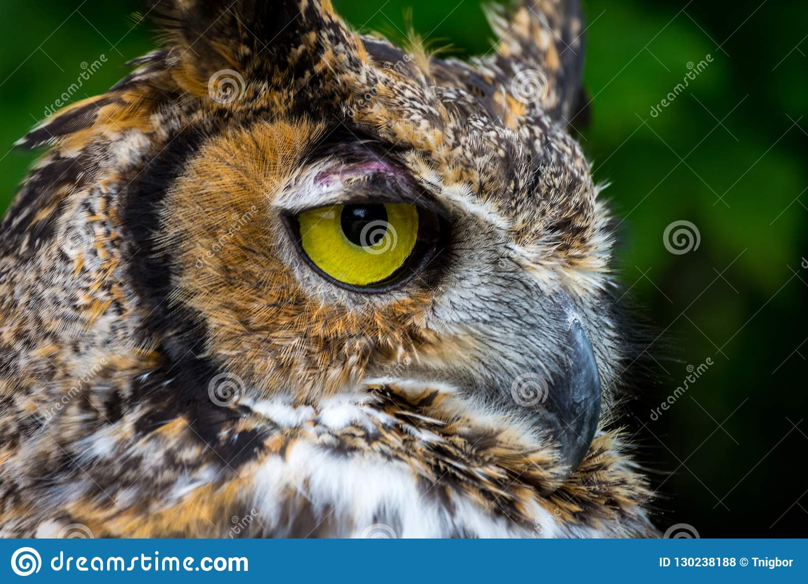 Great Horned Owl close up lookng to the right