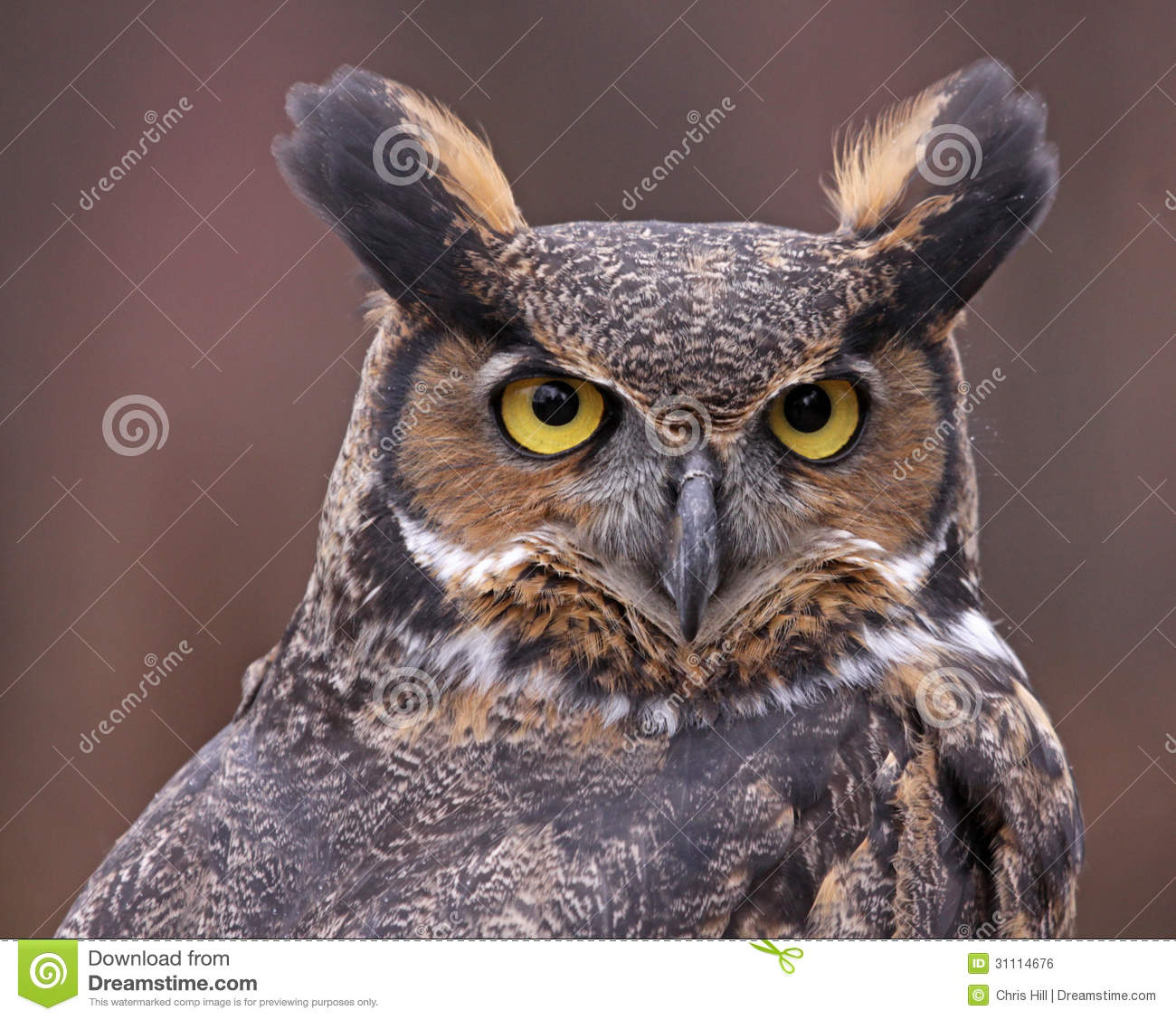 Great Horned Owl Face Royalty Free Stock Image Image