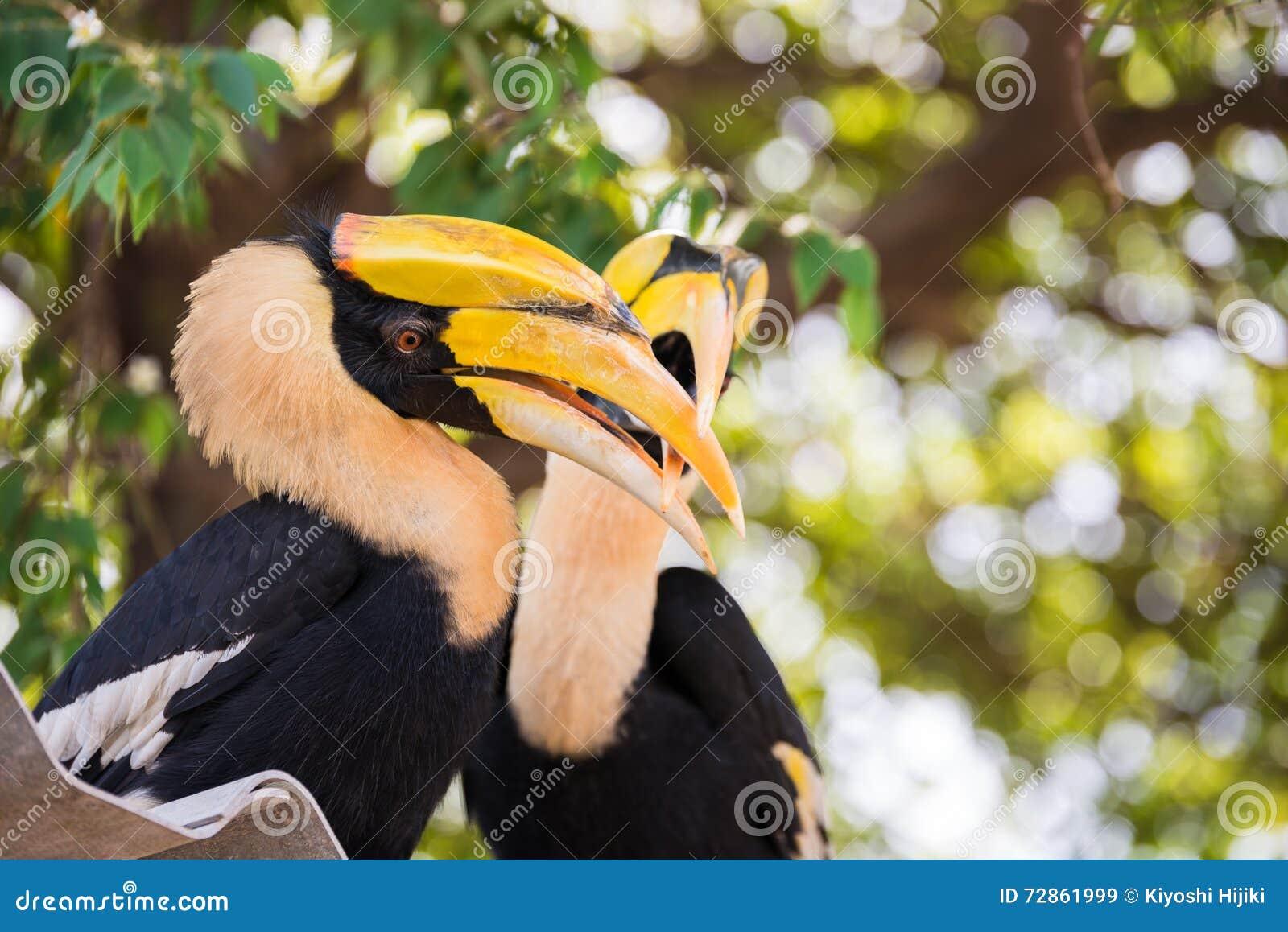Great indian hornbill in love