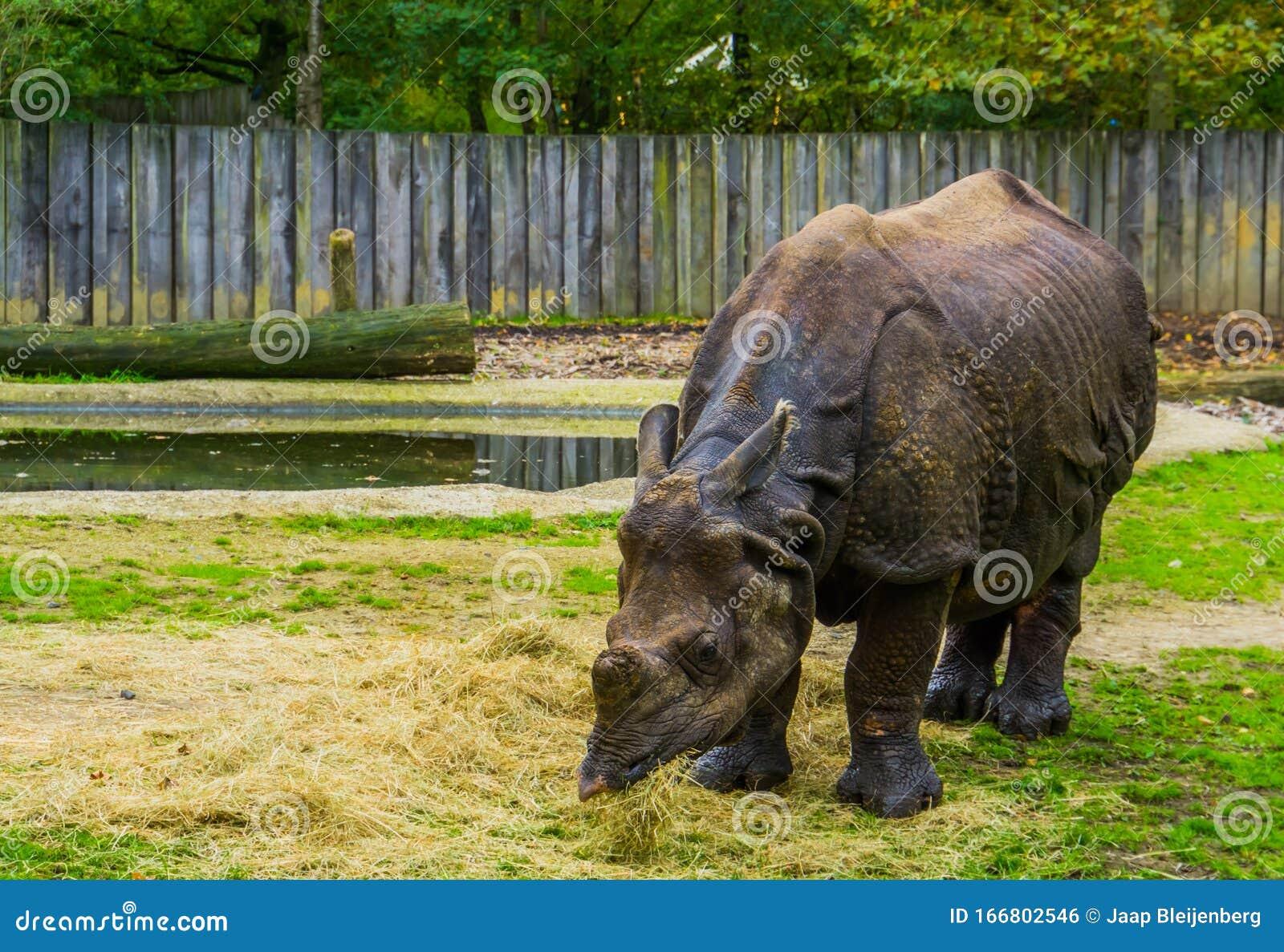 Great Indian Rhinoceros Eating Food, Diet Of A Rhino ...