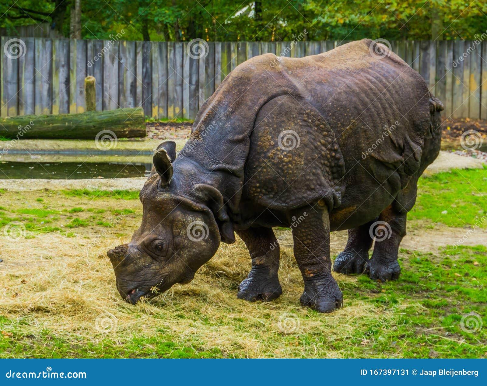 Great Indian Rhinoceros Eating Hay, Diet Of A Rhino ...