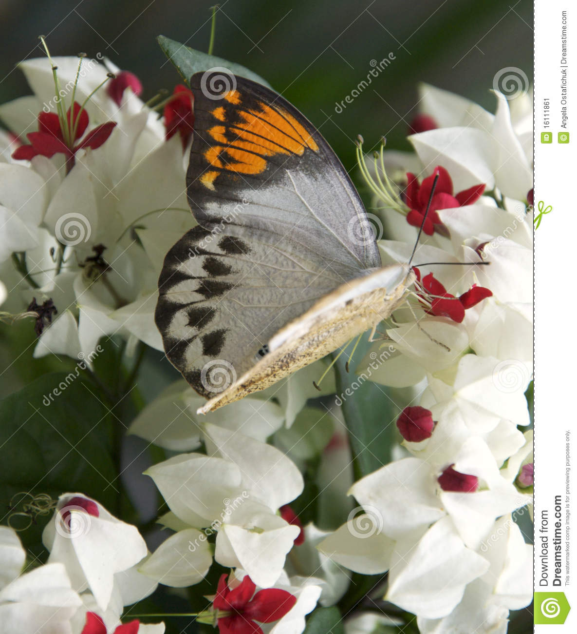 Great Orange Tip Butterfly and flowers