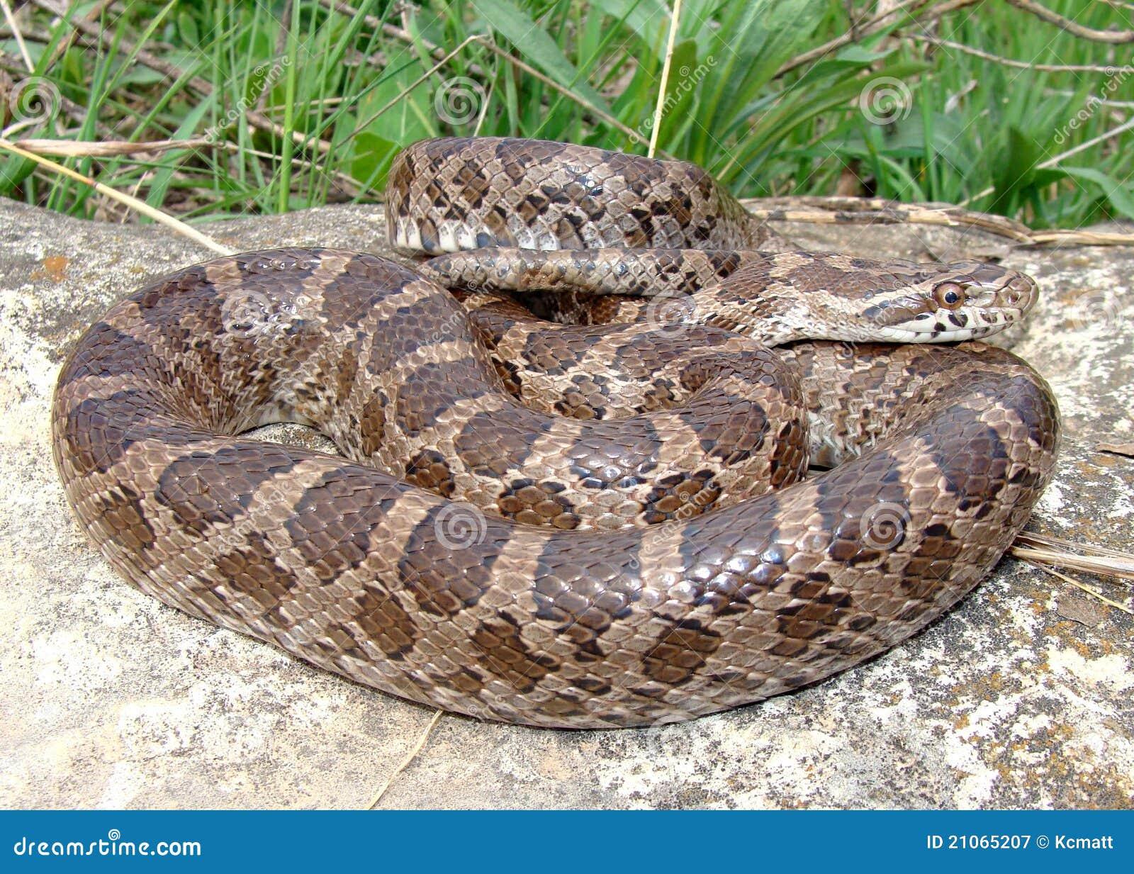King Rat Snake Royalty Free Stock Photography - Image: 35135537