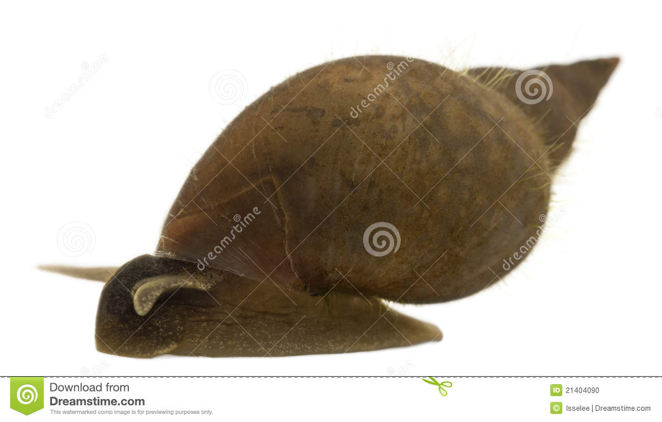 Great pond snail, Lymnaea stagnalis, a species of freshwater snail, in ...