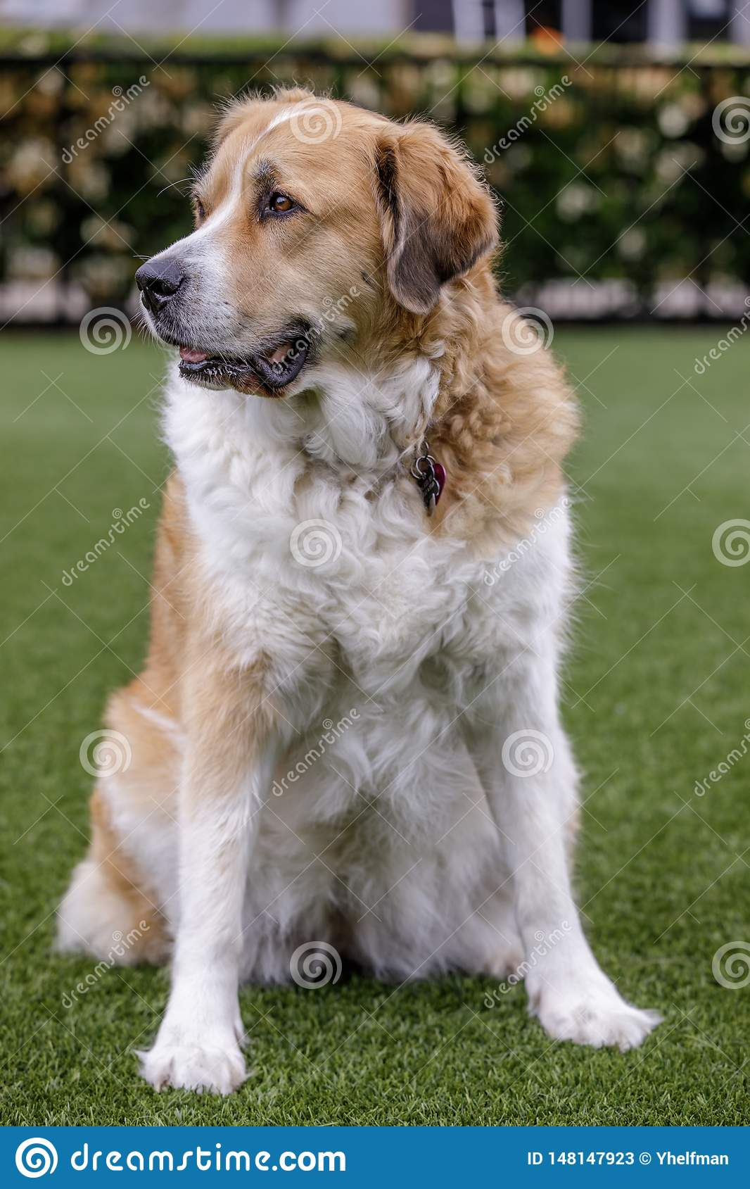 Great Pyrenees Crossed With A Greater Swiss Mountain Dog ...