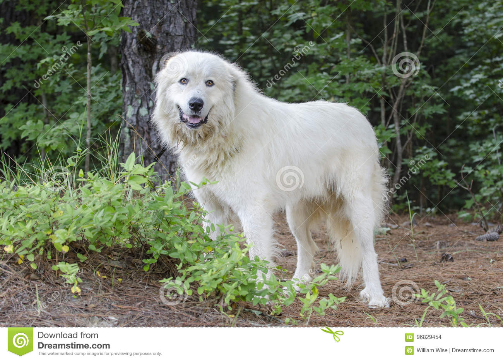 Great Pyrenees Livestock Guard Dog