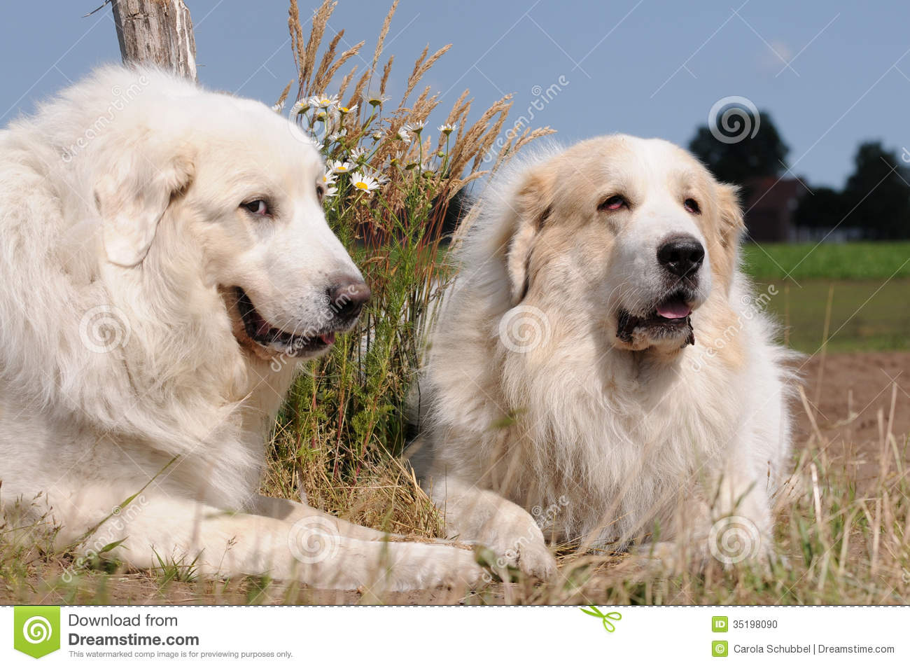 great pyrenees stock photo image of mountain breed