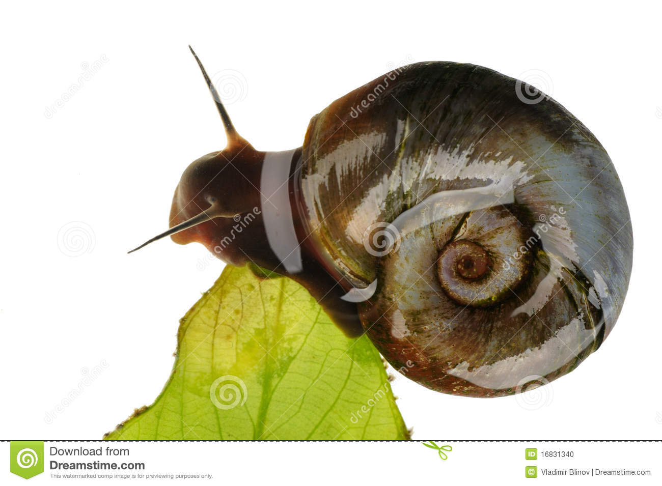 Great Ramshorn, Isolated Stock Photo - Image: 16831340