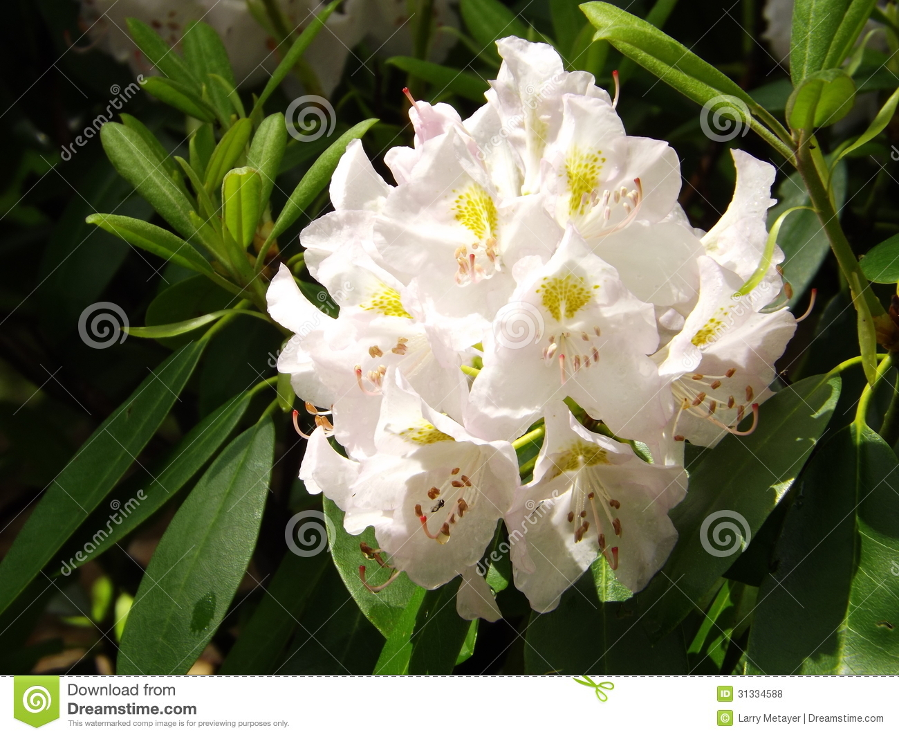 Great Rhododendron - Rhododendron maximum