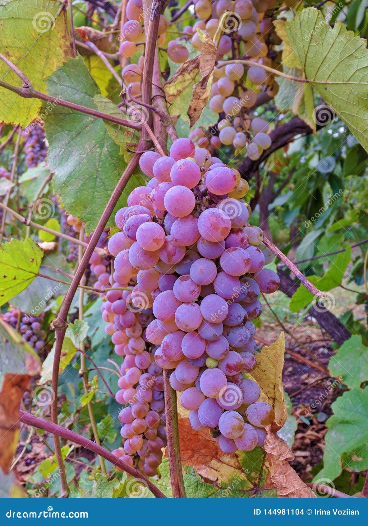 Great ripe purple grapes hanging on grape shrub