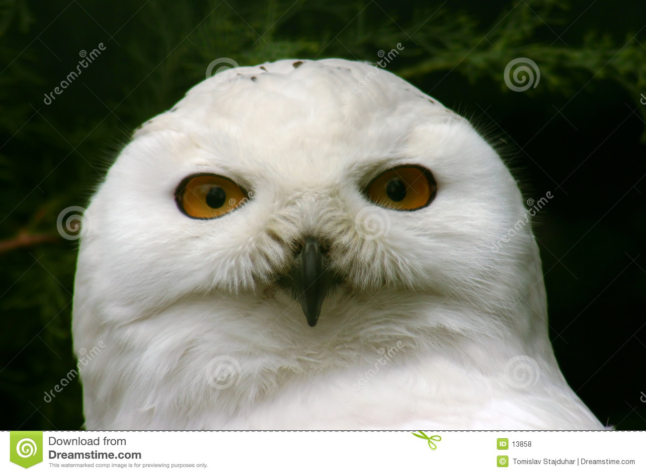Great Snow Owl